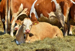 Cattle Finance