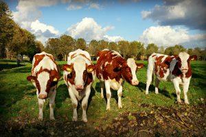 Cattle Loans